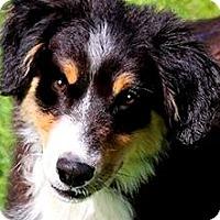 Adopt A Pet :: OLIVIA(ADORABLE AUSSIE PUPPY!! - Wakefield, RI