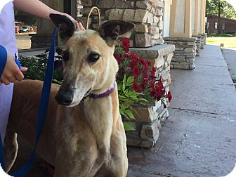Greyhound Dog for adoption in Coon Rapids, Minnesota - Neytiri