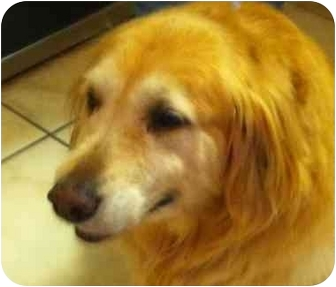 Golden Retriever Dog for adoption in New Canaan, Connecticut - Sadie