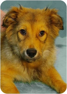 Australian Shepherd/Shepherd (Unknown Type) Mix Puppy for adoption in Westminster, Colorado - ALMOND