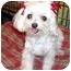 Photo 1 - Maltese Dog for adoption in Los Angeles, California - HILLARY