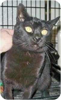 Domestic Shorthair Cat for adoption in Shelbyville, Kentucky - Sundance