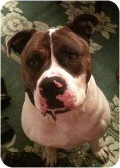 American Bulldog Mix Dog for adoption in Cincinnati, Ohio - Soldier - Courtesy Post