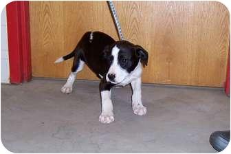 Pointer/Hound (Unknown Type) Mix Puppy for adoption in Cincinnati, Ohio - Tulip