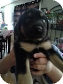 Rottweiler/Shepherd (Unknown Type) Mix Puppy for adoption in Plainfield, Illinois - Tony