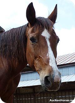 Quarterhorse/Thoroughbred Mix for adoption in Lakebay, Washington - Birdie
