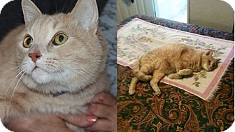 Domestic Shorthair Cat for adoption in Laguna Woods, California - Rusty