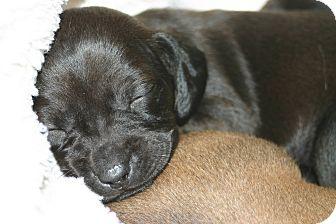 Dachshund Mix Puppy for adoption in Marietta, Georgia - Myhrr