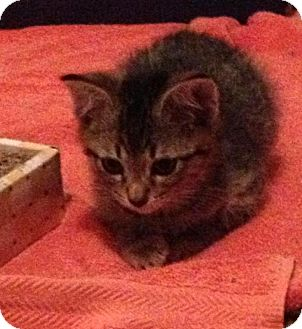 Domestic Shorthair Kitten for adoption in Troy, Michigan - Little Miggy