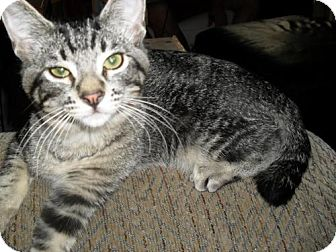 Domestic Shorthair Cat for adoption in Concord, California - GROVER LIVES WITH DOGS & KITTIES