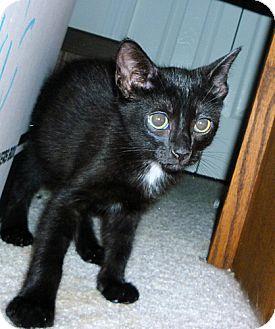 Domestic Shorthair Kitten for adoption in Tampa, Florida - Ferdinand