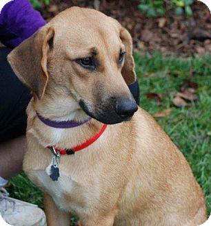 Hound (Unknown Type) Mix Puppy for adoption in Harrisburgh, Pennsylvania - Soda Pop