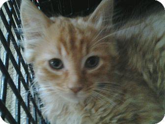 Maine Coon Kitten for adoption in Acushnet, Massachusetts - Chance