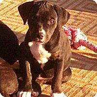 Adopt A Pet :: Adonis - Phoenix, AZ