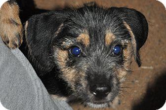 Terrier (Unknown Type, Small)/Dachshund Mix Puppy for adoption in Newark, Delaware - Sam