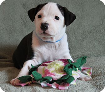 Labrador Retriever/Border Collie Mix Puppy for adoption in Wellington, Florida - Reggie