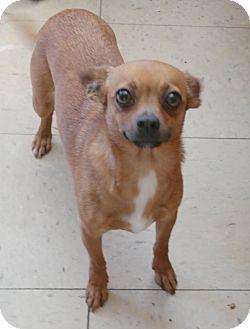 Chihuahua Mix Dog for adoption in San Pablo, California - MEL