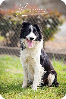Border Collie Mix Dog for adoption in Corning, California - ROSEY