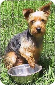 Yorkie, Yorkshire Terrier/Yorkie, Yorkshire Terrier Mix Dog for adoption in Mountain Home, Arkansas - Trevor