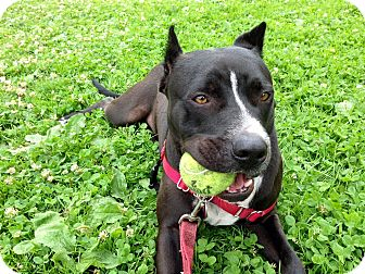 American Staffordshire Terrier/Pit Bull Terrier Mix Dog for adoption in Los Angeles, California - Wrigley
