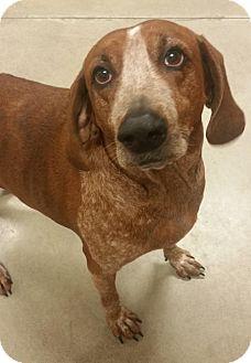 Redbone Coonhound Dog for adoption in Dahlgren, Virginia - KGAC #12-1-15-1 - 'Albert'