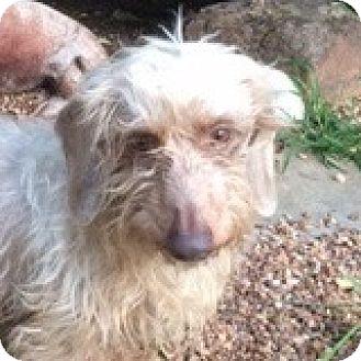 Dachshund Dog for adoption in Houston, Texas - Sebastian Smoke