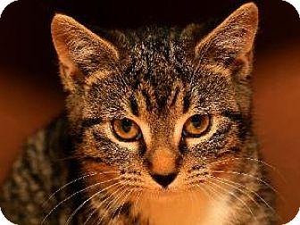 Domestic Shorthair Kitten for adoption in Fenton, Missouri - Carla