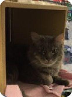 Domestic Mediumhair Cat for adoption in Manchester, Connecticut - Junior