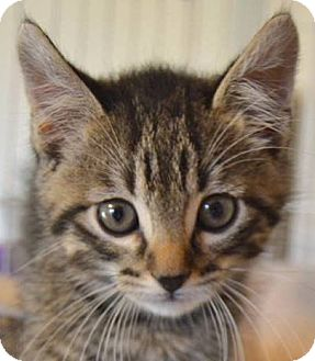 Domestic Shorthair Cat for adoption in Enid, Oklahoma - Panthro