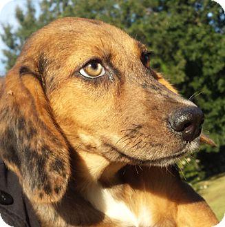 Dachshund/Catahoula Leopard Dog Mix Puppy for adoption in Preston, Connecticut - Misty AD 11-12-16
