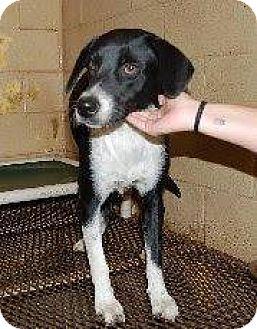 Border Collie/Labrador Retriever Mix Dog for adoption in Laingsburg, Michigan - Bella