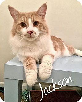 Maine Coon Cat for adoption in Troy, Michigan - Jackson