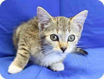 Domestic Shorthair Kitten for adoption in Winston-Salem, North Carolina - Maddie