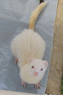 Ferret for adoption in Carlton, Oregon - Blaze