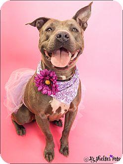 American Pit Bull Terrier/American Staffordshire Terrier Mix Dog for adoption in Phoenix, Arizona - Genesis