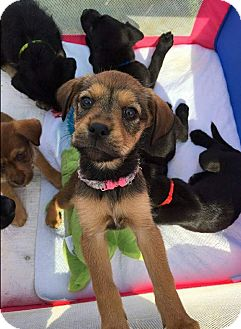 Labrador Retriever/Wirehaired Fox Terrier Mix Puppy for adoption in Neffs, Pennsylvania - Ruby