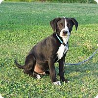 Adopt A Pet :: DUTCH - Bedminster, NJ