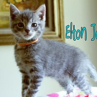 Adopt A Pet :: Elton John - Wichita Falls, TX