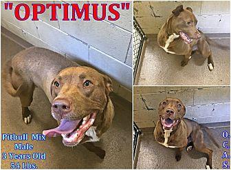 "Pit Bull Terrier Mix Dog for adoption in Triadelphia, West Virginia - 1-1 ""Optimus"""