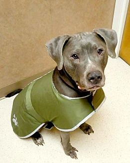 Pit Bull Terrier/Great Dane Mix Dog for adoption in Catasauqua, Pennsylvania - Ethan