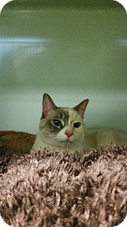 Siamese Cat for adoption in Bloomingdale, New Jersey - Tali