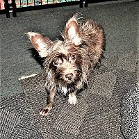 Adopt A Pet :: Puppy - Tavares, FL