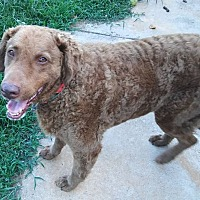 Adopt A Pet :: Sampson - Knoxville, TN