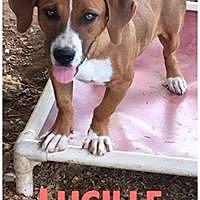 Adopt A Pet :: Lucille - Hartwell, GA