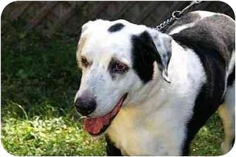 Labrador Retriever Mix Dog for adoption in Englewood, Florida - Oreo
