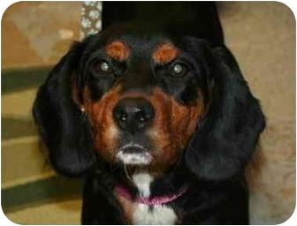 Basset Hound/Dachshund Mix Puppy for adoption in Berea, Ohio - Gertie
