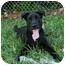 Photo 1 - Labrador Retriever Mix Dog for adoption in Saint Charles, Missouri - Zachary--URGENT!