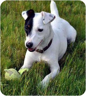 Jack Russell Terrier Dog for adoption in Rhinebeck, New York - Maddy