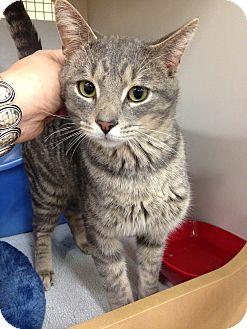 Domestic Shorthair Cat for adoption in Warren, Michigan - Rafe