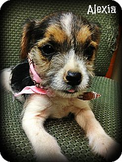 Jack Russell Terrier/Chihuahua Mix Puppy for adoption in Glastonbury, Connecticut - Alexia
